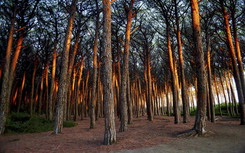 "Martin Bell ""Sun-scorched trees in Tuscany, Italy"""