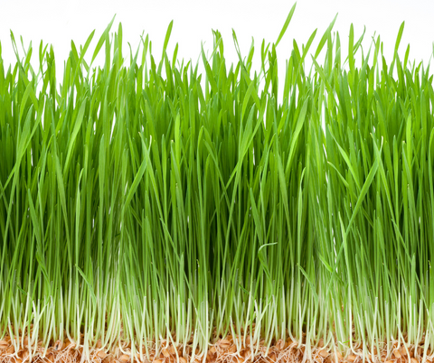 how to grow wheat grass