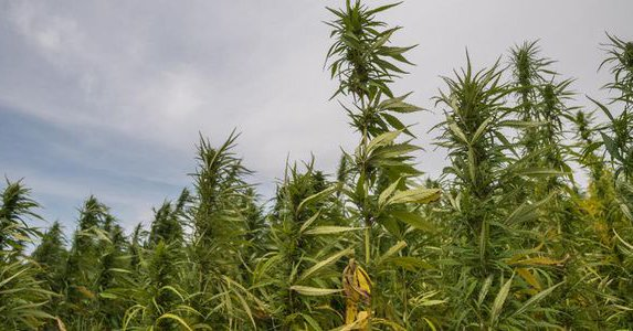 U.S. Senate Unanimously Approves Hemp Measure Contributed by Tom Angell FORBES MAGAZINE