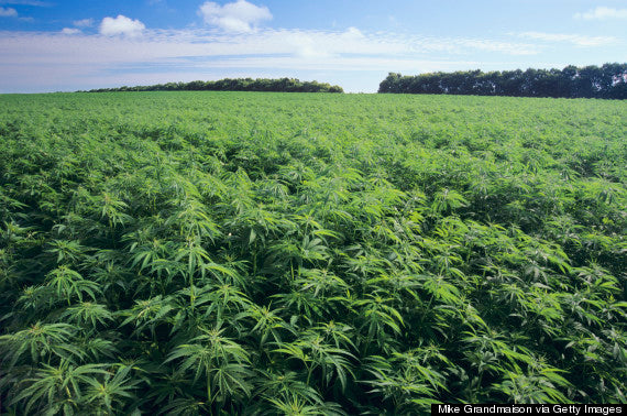 Why Hemp, The Sustainable Wonder Crop, Is Sweeping The Nation ...By Chloe Fox
