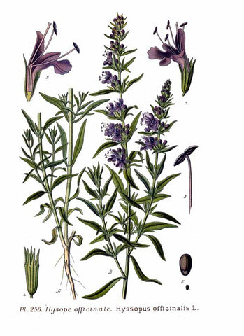 Hyssop botanical illustration