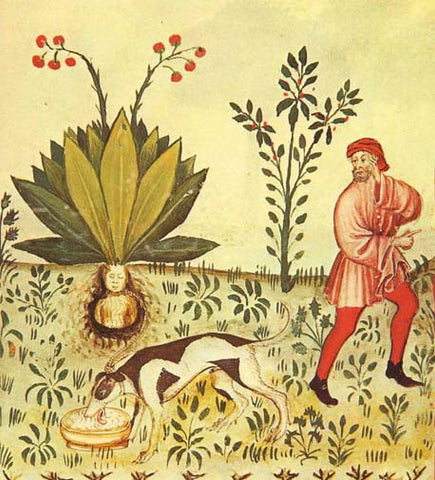 Extracting Mandrake with a dog
