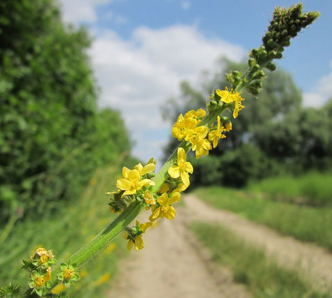 Agrimony blossoms
