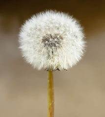 Dandelion ready for your wish
