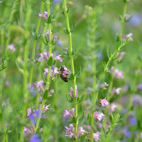 Magickal properties of Hyssop – Grove and Grotto