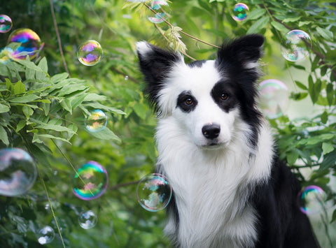 Puppy watching bubbles