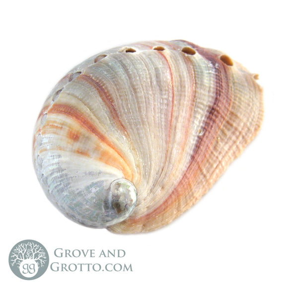Red Abalone Shell (Small) - Grove and Grotto