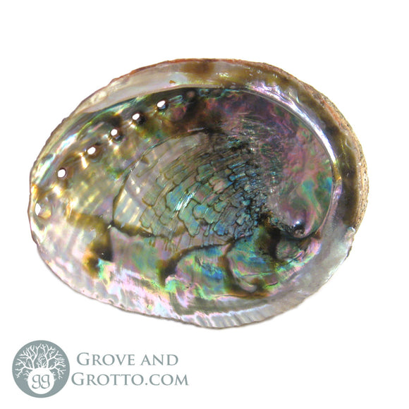Medium Abalone Shell (4-5