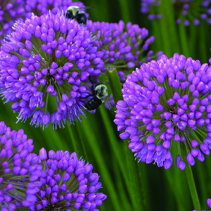 Allium 'Millenium' named 2018 Perennial of the Year