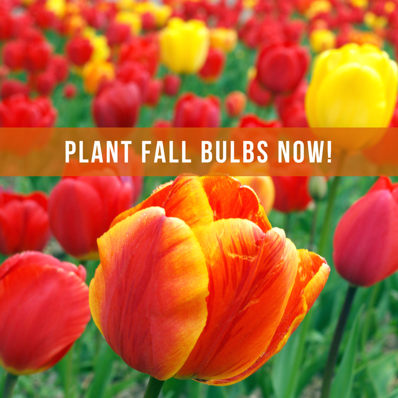 Plant Fall bulbs now for spring colour!