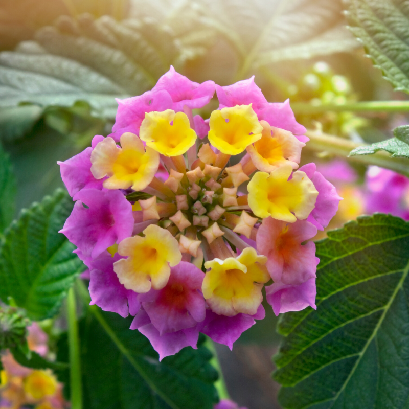 Lantana - Easy Growing Butterfly Magnet
