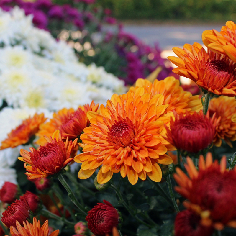 Fall Mums and Planters
