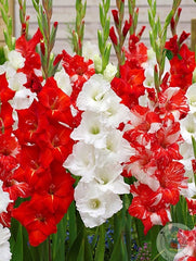 red and white flowers for Canada 150