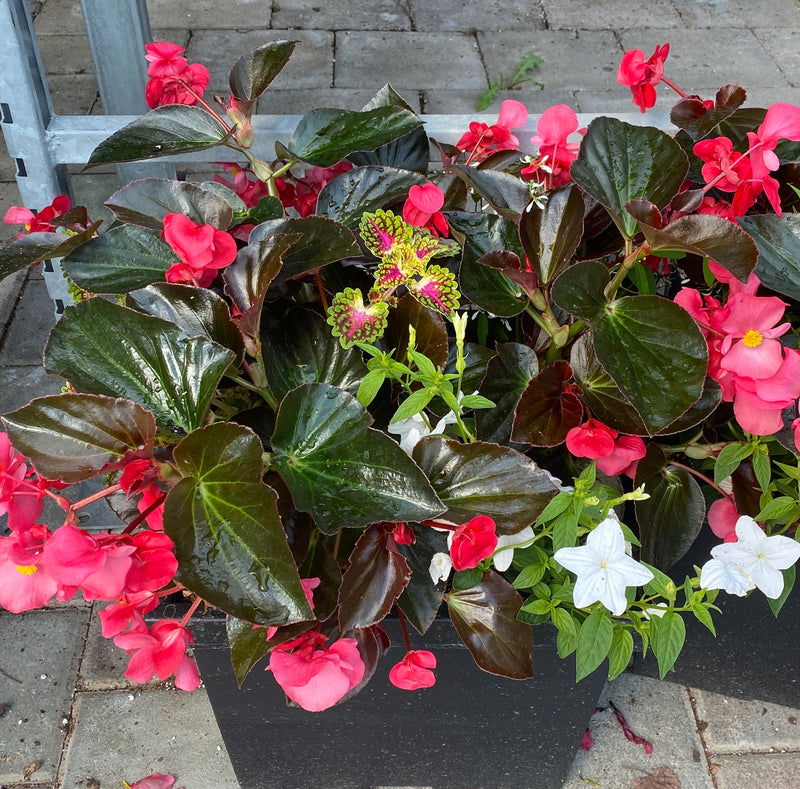 "Square Planter 14"" - Begonia Mix 11"