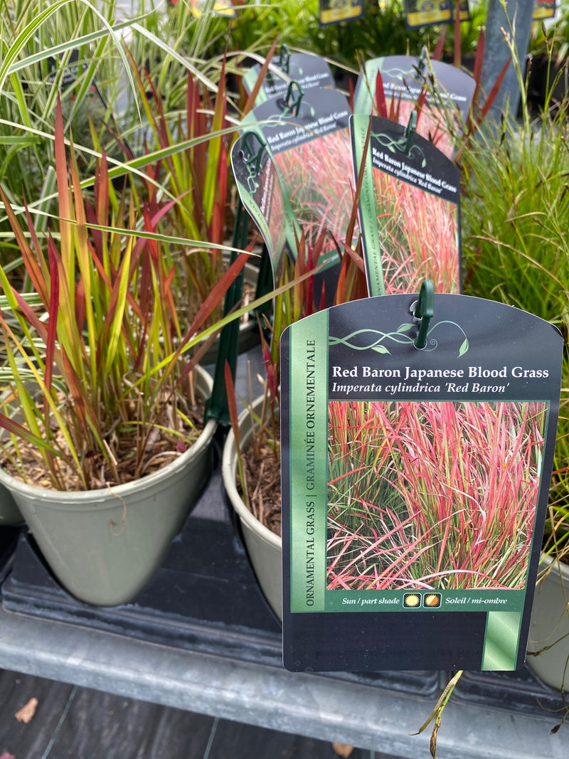 Blood Grass (Imperata) Red Baron