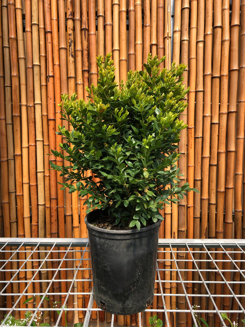 Boxwood (Buxus) - Green Velvet