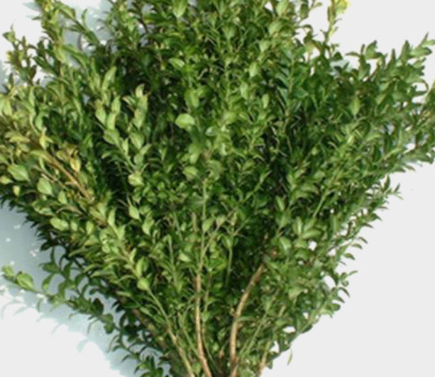 Fresh Winter Greens - Boxwood