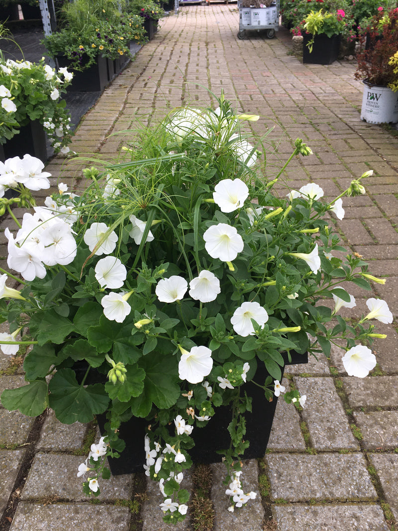 "Square Planter 14"" - Geranium Mix 5"