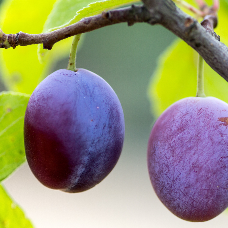 Plum Tree - Italian Prune