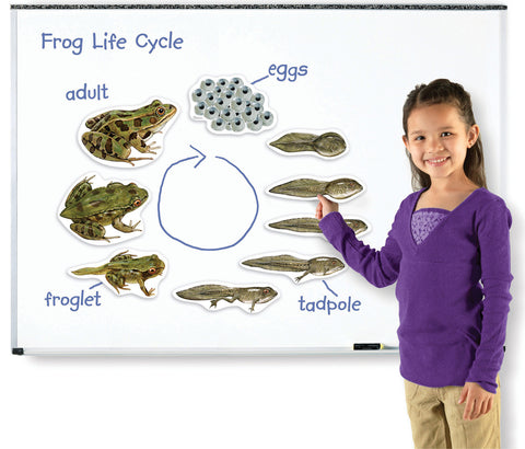 Magnetic Frog Life Cycle pk9