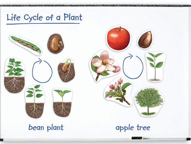 Magnetic Plants Life Cycle