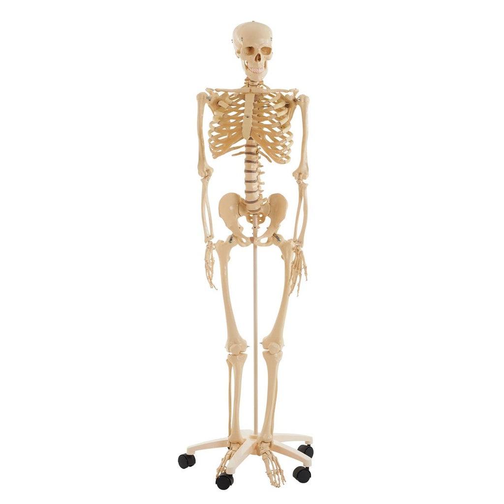 Full-Size-Skeleton-