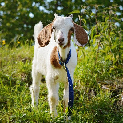 You Goat This Send Anyone A Pet Goat The Best Gift Ever