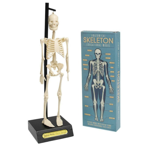 Anatomical Skeleton Model - The Corner Booth