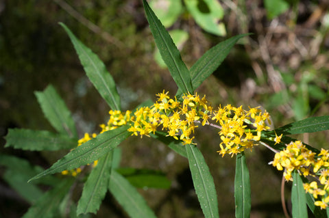 Bluestemmed Goldenrod
