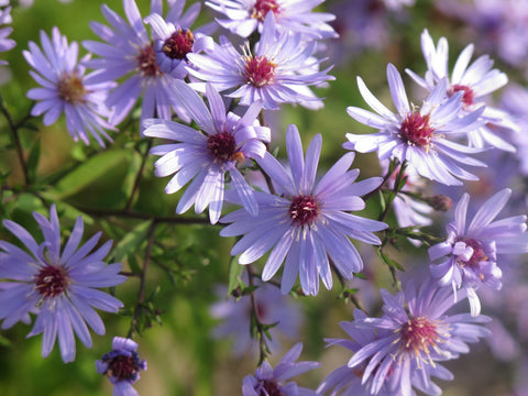 Heart-Leaved Blue Wood Aster