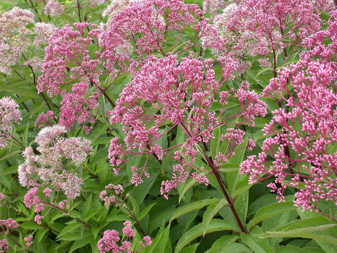 Hollow Joe-Pye Weed