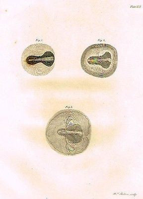 "EMBRYOS IN CHICK EGGS from Palmer's ""Works of John Hunter"" -1837"
