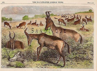 """ILLUSTRATED LONDON NEWS"" - Hand Colored Print - ""HARTEBEESTE ANTELOPES"" - c1880 - Sandtique-Rare-Prints and Maps"
