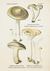 Miscellaneous Mushrooms