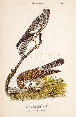 "Warren's ""Birds of Pennsylvania"" - ""MARSH HAWK"" - Chromolith -1888"