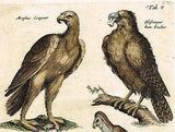 "Jonston - Merian Birds - ""VULTURES & CONGORS"" - Hand-Colored Eng -1657"
