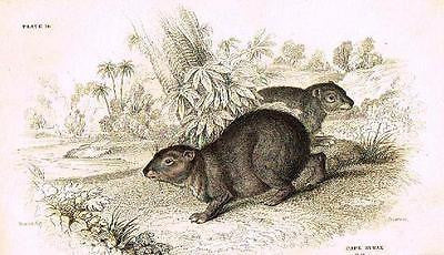 "Jardine's ""Naturalist's Library"" - ""CAPE HYRAX"" - Hand-Col.Engraving - c1834"