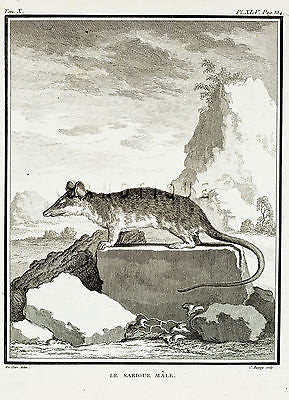 "De Seve's Animals - ""LE SARIGUE MALE"" - Copper Engraving - 1760"