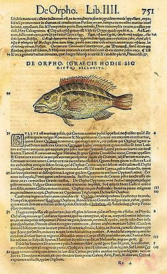 "Gesner's Fish - ""DE ORPHO (GRAECIS HODIE)"" - Hand Colored Eng - 1558"