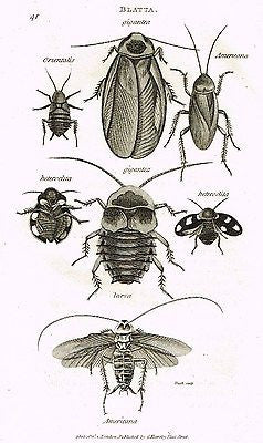 "Shaw's (Insects) - ""COCKROACH - BLATTA""- Copper Engraving - 1805"