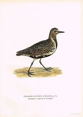 "Von Wright's Birds- ""GOLDEN PLOVER"" - Antique Chromo Print -1917"