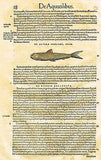 "Gesner's Fish - ""DE AGONO VEL CHALCIDE"" - Hand Colored Engraving - 1558"