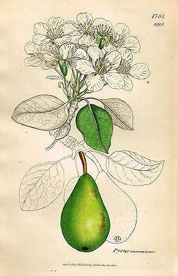 "1807 - SOWERBY'S ""English Botany"" - ""PYRUS COMMUNIS"" - H-Col. Lithograph - #1784 - Sandtique-Rare-Prints and Maps"