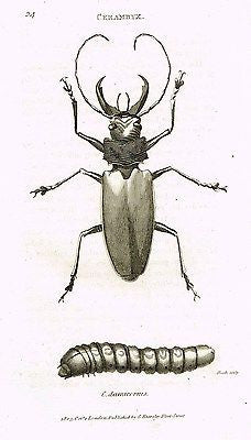 "Shaw's (Insects) - ""BEETLES - CERAMBYX""- Copper Engraving - 1805"