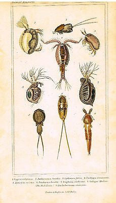 CUVIER'S ANTIQUE MOLLUSK PRINT