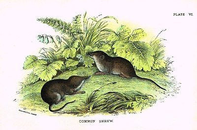 "Lloyd's Animal Chromolithograph - 1896 - ""COMMON SHREW"""