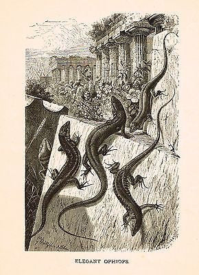 Prang's Animate Creation - Litho -  OPHIOPS or SALAMANDERS  - 1898