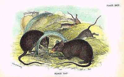 "Lloyd's Animal Chromolithograph  -1896 - ""BLACK RAT"""