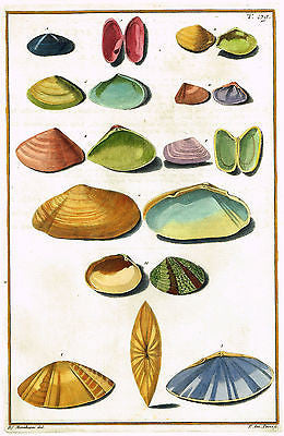 Gualtieri Shell - PLATE T 89 - Hand Colored Copper Engraving - 1742