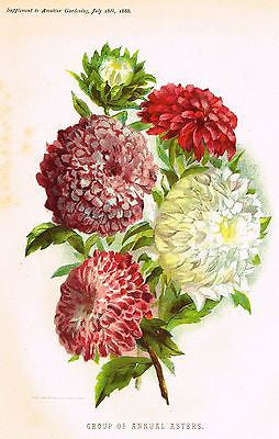 "Amateur Gardening's - ""GROUP OF ANNUAL ASTERS"" - Chromolithograph - 1888 - Sandtique-Rare-Prints and Maps"
